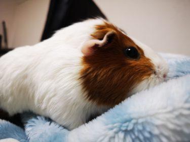 モルモットの床材としてタオルを使う方法と注意すること