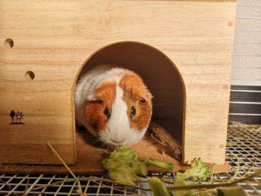 モルモットが巣箱から出てこない。飼い始めの接し方のポイント