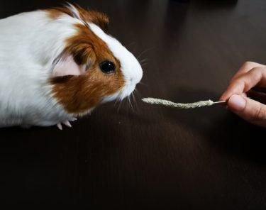 モルモットは遊ばせ方の工夫でストレスを与えない安全な飼育を